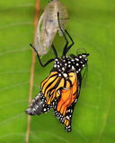 New Monarch Butterfly (Danaus plexippus) Royalty Free Stock Image