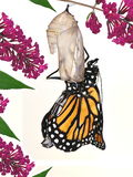 A New Monarch Butterfly (Danaus plexippus) royalty free illustration