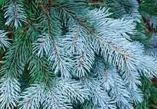 New needles on blue spruce branches Stock Photos