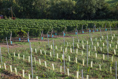 New and Old Grape Vine Plantations Stock Image