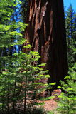 Redwood Trees. New and Old Redwood Trees at Maripose Grove National Park in California, USA royalty free stock images