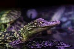 New Orleans alligator Arkivbilder