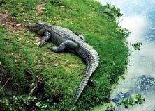 New Orleans alligator 2002 Royaltyfria Foton