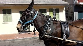 New Orleans Carriage. Professional Horse at work in the French Quarter Stock Photo