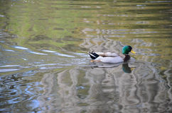 New Orleans Duck Royalty Free Stock Image
