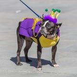 New Orleans LA/USA - circa Februari 2016: Gullig hunduppklädd i dräkten för Mardi Gras i New Orleans, Louisiana arkivbild
