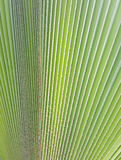 New palm leaf texture. As natural background Stock Photography