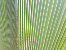 New palm leaf texture. As natural background Stock Photo