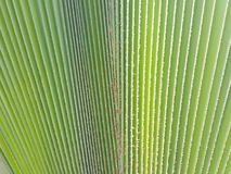 New palm leaf texture. As natural background Royalty Free Stock Photos