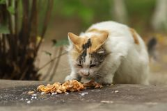 2018 new photo, cute brown white long hair stray cat eating food. Daily street cat photo. Adorable street brown white kitty with long hair walks eating food royalty free stock photography