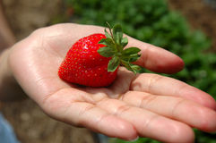 New picked strawberry. This was a new picked strawberry on my hand Stock Photography