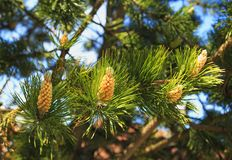 New pine cone sprout on branch of Eastern stock photo