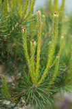New Pine Growth Stock Photos
