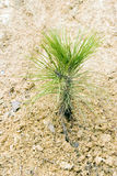 New pine tree. A single new green pine tree in yellow soil Stock Photos