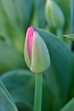 New Pink Tulip Royalty Free Stock Photography