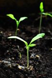 New plant Royalty Free Stock Photography