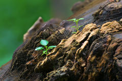 New plant growth on old tree trunk Royalty Free Stock Photos