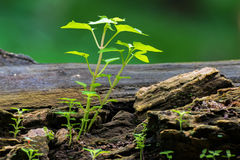 New plant growth on old tree trunk Royalty Free Stock Photography
