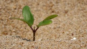 New plant  living  on  the sand stock footage