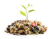 New plant from pile of different seeds growing Royalty Free Stock Photo
