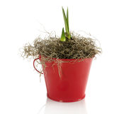 New plant in red bucket Stock Photography