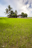 New planted paddy field Stock Photo