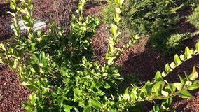 New planting of garden beds with plants, shrubs. Garden design.  stock video
