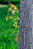 New poplar leaf. New leaf on a poplar tree in spring Royalty Free Stock Image