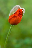 New poppy. Blossom out of new blossom of poppy flower. new beginning Royalty Free Stock Photos