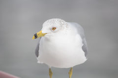 New Port Seagull Royalty Free Stock Photography