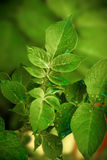 New potato Leaves Royalty Free Stock Image
