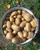 Fresh potatoes. White enamel bucket full new potatoes. Top view Stock Image