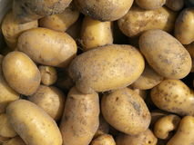 New potatoes. Autumn Harvest. Background of new potatoes. Autumn Harvest Royalty Free Stock Photography