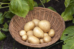 New potatoes Casablanca. Basket of Casablanca new potatoes in veg patch amongst growing potato plants Royalty Free Stock Images