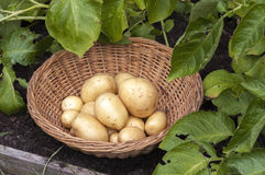 New potatoes Casablanca. Casablanca first early potatoes in basket in veg plot with growing potato plants Royalty Free Stock Photo