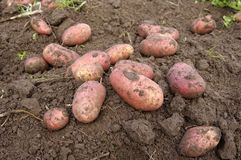 New potatoes freshly dug Stock Images