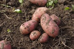 New potatoes freshly dug Royalty Free Stock Photography