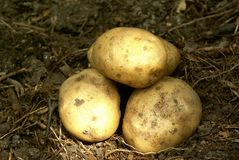 New potatoes Stock Photography