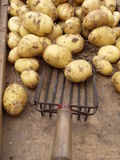 New potatoes with shovel Stock Photography