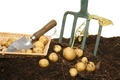 New potatoes in soil Royalty Free Stock Photos