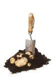 New potatoes in soil Stock Photos