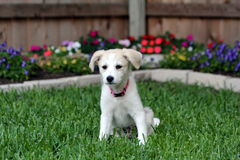 New Puppy. Puppy in the back yard Royalty Free Stock Photos