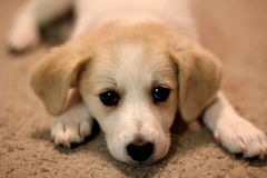 New Puppy. A puppy with big brown eyes Royalty Free Stock Photo