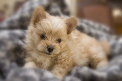 New Puppy in Blanket stock photos