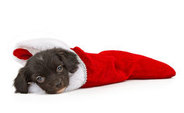 New puppy in a Christmas stocking Royalty Free Stock Photo