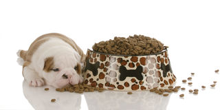 New puppy with dog food. English bulldog puppy sleeping with slipper - four weeks old Royalty Free Stock Photos