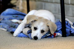 New Puppy. A Happy puppy napping on a blanket Stock Image