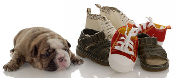 New puppy and new baby shoes. Puppy growth - english bulldog puppy laying beside pile of infant shoes Royalty Free Stock Image