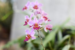 The new purple orchid flower grows with a stick protruding. In the garden royalty free stock image