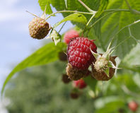 New raspberry. The raspberry starts to ripen on a farm Stock Photography